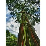 5 Semillas de la herencia Árbol del arco iris (Eucalyptus deglupta)