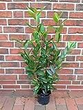 6 Kirschlorbeer Pflanzen, Höhe: 90-100 cm ab Topf, Prunus laurocerasus Caucasica