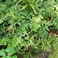 Venushaarfarn - Adiantum venustum von Baumschule bei Du und dein Garten