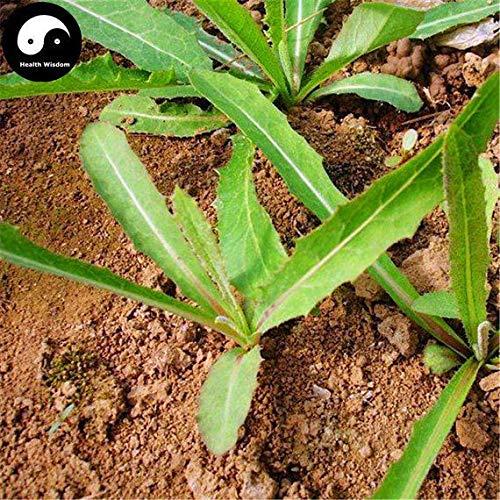 PLAT FIRM KEIM SEEDS: 150pcs: Kaufen Feld Sowthistle Herb Gemüse Samen Pflanze Wildgemüse Sonchus arvensis