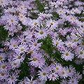 Herbstaster ( Aster novae-belgii ' Rosenquarz ' ) von Lichtnelke Pflanzenversand - Du und dein Garten