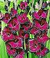"""BALDUR-Garten Riesen-Gladiole """"Schönheit der Nacht"""",15 Stück Gladiolus von Baldur-Garten bei Du und dein Garten"""