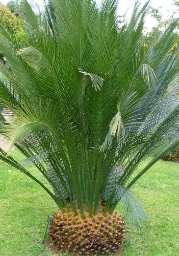 TROPICA-Australischer Palmfarn ( Macrozamia communis ) - 2 grosse Samen