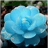 Futaba Lithops Pseudotruncatella Living Stone (Lithops) Rare Succulent Seeds - 100 Seeds