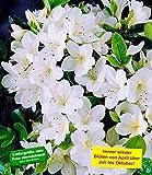 BALDUR-Garten Durchblühende Azalee 'Bloom Champion' weiß 1 Pflanze Rhododendron winterhart