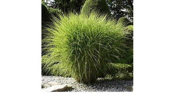 50 100 St/ück Buntes Tigergras Samen schnell Wachsen Ziergras//exotische pflanzen Zebragras Garten Pflanzen Saatgut winterhart mehrj/ährig Anitra Perkins