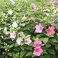 Raras Semillas de césped,Mezcla Semillas Ornamentales,Hibiscus Seeds Big Flower Okra Seeds Four Seasons-100 cápsulas