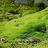 20pcs Sagina Subulata Seeds Irish Moss Seeds Garden Ground Cover Creative Plant DIY