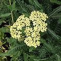 lichtnelke - Schafgarbe (Achillea millefolium ' ANTHEA ' ) von Lichtnelke Pflanzenversand auf Du und dein Garten
