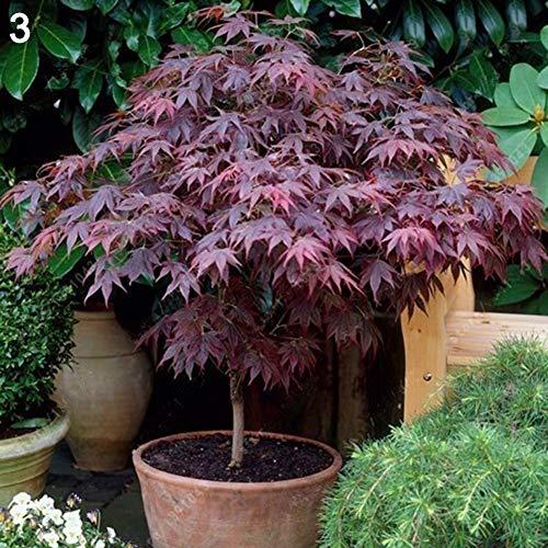 D-SYANA8 20 PCS Semillas de Arce Árbol Semilla de Planta OrnamentalBonsái Decoración de la Calle Patio Hogar Jardín 3# Maple Tree Seeds