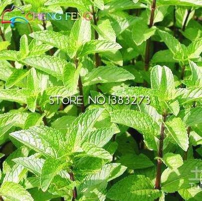 100 Plantes Pcs Cat Mint Aromaticpotted cataire Seeds Heirloom Fragrant Spearmint Herb Plant for Seed Garden Pet Meilleur Bonsai cadeau