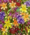 """BALDUR-Garten Blumenzwiebel-Mix """"Kleine Kostbarkeiten"""" 25 Zwiebeln Homeria, Dichelostemma von Baldur-Garten bei Du und dein Garten"""