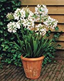 Willemse France 2 Agapanthes Blanches, Blanc