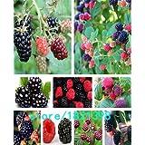 Semillas de moras y moras semillas de árboles frutales de mora semillas de la fruta nutrición saludable - 100 pcs