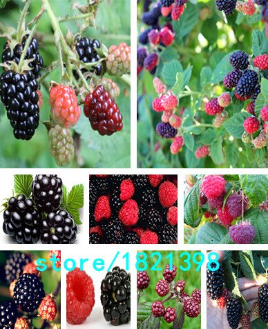 Galleria fotografica semi di alta qualità mora e more di frutta albero semi di gelso semi di frutta sana alimentazione - 100 pz
