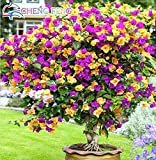 Shopmeeko 50 stücke Mix Farbe Bougainvillea Balkon Topf Yard Bonsai Blume Pflanze Immensly Blumige Blumige Winterharte Kostenloser Versand Sementes: Dark Khaki