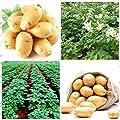 Shopmeeko Neu Frische Pflanzen 50 Stück Kartoffelpflanzen Ernährung Grünes Gemüse für Zuhause & amp; Gartenpflanzkartoffelpflanzen Absorbierende Strahlung: Grün