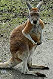 Australian  Kangaroo is Watching You Journal: 150 Page Lined Notebook/Diary