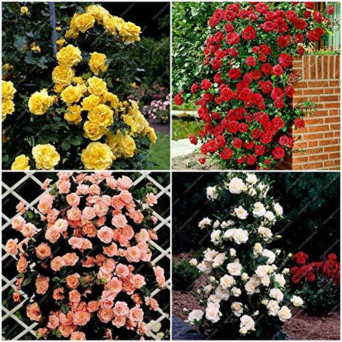 Go garden 100pcs arrampicata mista piante perenni rosa rosso bianco rose gialle fiori profumati 4 typesclimbing piante di rose per la casa giardino: misto
