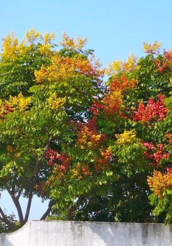 TROPICA -Götterbaum / Himmelsbaum ( Alianthus excelsa ) - 25 Samen