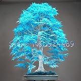 50PCS elegant Pulver blau japanischen Ahornsamen Mini Bonsai Samen Bonsai-Baum Samen Maple Samen Bonsai-Garten Heim