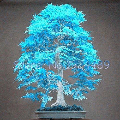 50PCS elegante polvere blu giapponesi semi di acero mini semi bonsai bonsai semi di albero semi di acero bonsai giardino casa