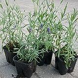 10 Stück Tiefblauer Lavendel - Lavandula angustifolia