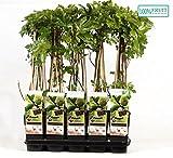 Blumen Senf Ficus Madeleine des Deux Saisons - Feige - Feigenbaum