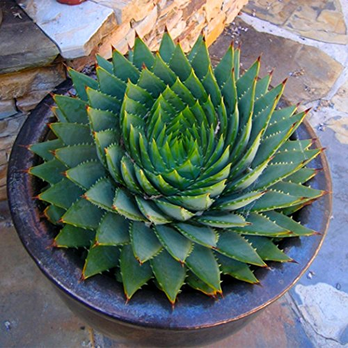 Keptei 100 Stück echt Aloe Vera(Aloe barbadensis) Samen Erste-Hilfe-Pflanze Zimmerpflanzen Kräutergarten Sukkulenten Saatgut