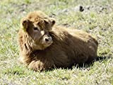 Artland Qualitätsbilder I Bild auf Leinwand Leinwandbilder Wandbilder 40 x 30 cm Tiere Haustiere Kuh Foto Braun C0LY Rind Highland