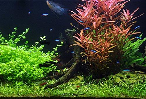 50 Wasserpflanzen, 5 Bunde und 3 Topfpflanzen für EIN 60 Liter Aquarium, Pflanzen für Vorne, Mitte und Hinten