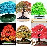 #4: Floral Treasure Combo of 6 Variety Maple Seeds