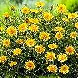 Qulista Samenhaus - Rarität Zwerg-Alant gelb bienenfreundlich Wiese-Alant Blumensamen mehrjährig winterhart für Beet und Steingarten