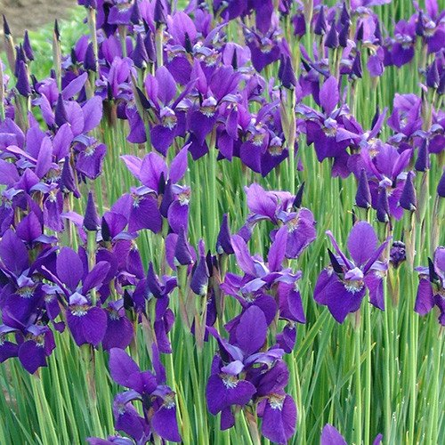 Shop World Seeds - Iris Sibirica 'Caesar's Brother' Seeds