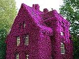 Garten Kletterpflanzen Samen Winterharter Efeu Parthenocissus Samen winterhart mehrjährig 200pcs für Wände, Zäune, Rankgerüste Garten Balkon und Dach (Lila)