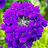 100pcs / bag semillas Verbena hybrida, semillas de flor de Bonsai raras semillas de flores plantas de balcón interior para jardín 3