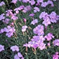 lichtnelke - Duftende Polsternelke (Dianthus gratianopolitanus ASNELLIKEN) von Lichtnelke Pflanzenversand - Du und dein Garten