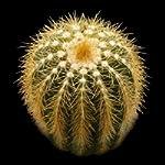 Eriocactus claviceps seeds