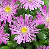 lichtnelke - Mittagsblümchen (Delosperma cooperi ' Jewel of Desert Candystone ')