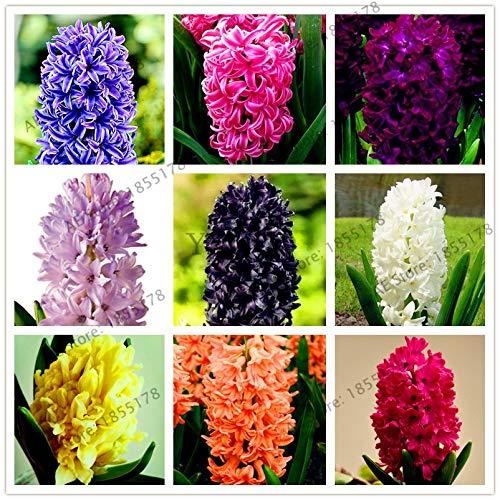 Nouvelle grande vente 105pcs / sac jacinthe comme, vivace jacinthe Flores mis en pot, fleur Bonsai en pour la maison et jardin (graines seulement)