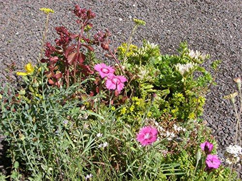 Sedum - Kräuter - Pflanzenpaket Steinrosenflur für 3 m² Dachbegrünung, Steingarten, etc.