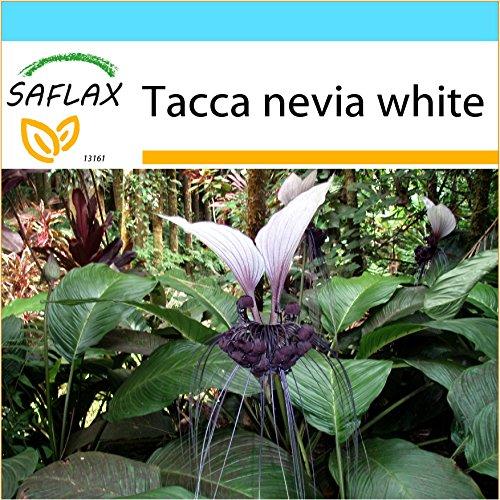 SAFLAX - Geschenk Set - Nepalesische Riesen - Fledermausblume - 10 Samen - Tacca nevia white