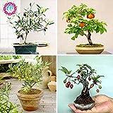 5PCS Bonsai Olive Bonsai Baum (Olea europaea) Samen, Bonsai Mini Olivenbaum, Olive Bonsai frischen exotischen Baum Canarium album Seeds
