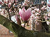 Tulpen-Magnolie Größe 15-L-Topf, 100-125 cm Pflanzenhöhe