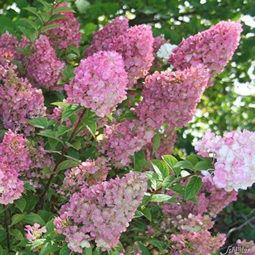Rispenhortensie Als Kübelpflanze geeignet