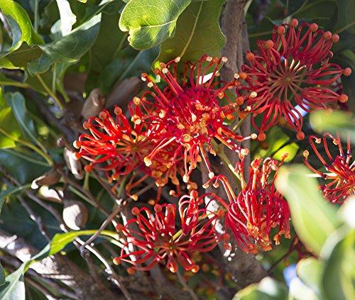 Australischer Feuerradbaum 5 Samen,Stenocarpus sinuatus, Firewheel Tree