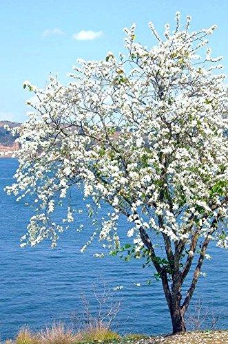 White Dwarf Bauhinia, plante arbre orchidée neige bonsaï fleur exotique graines 15 graines