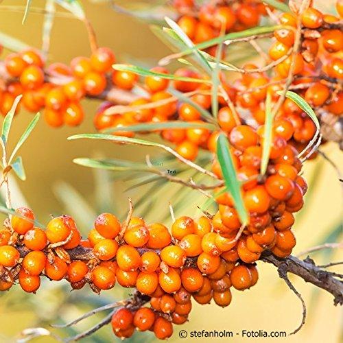 hippophae-rhamnoides-friesdorfer-orange-selbstbefruchtender-sanddorn-friesdorfer-orange-containerwar