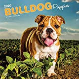 Bulldog Puppies - Bulldoggen Welpen 2020 - 16-Monatskalender mit freier DogDays-App: Original BrownTrout-Kalender [Mehrsprachig] [Kalender] (Wall-Kalender)