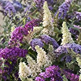 YouGarden Buddleia Tricolour Butterfly Bush